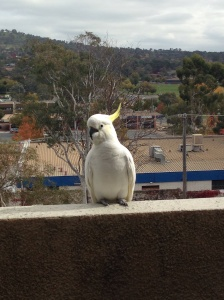 Cute little Cockatoo sitting on the edge of our balcony watching us clean out our apartment